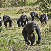 group of Common Chimpanzees running Poster