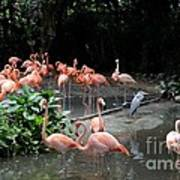 Group Of Flamingos And Lone Heron In Water Poster