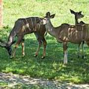 group of Kudu Antelope Poster