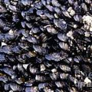 Group Of Mussels Close Up Poster