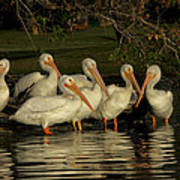 Group Of White Pelicans Poster
