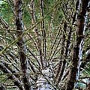 Growing Pine Poster