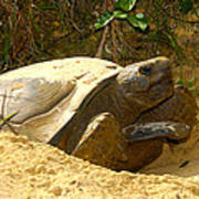Florida Gopher Tortoise And Home Poster