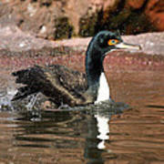 Guanay Cormorant Poster