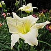 Guardian Angel Daylilies Poster