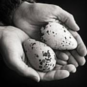 Guillemot Eggs Black And White Poster