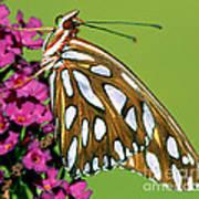 Gulf Fritillary Butterfly Agraulis Poster