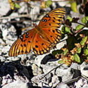 Gulf Fritillary Butterfly - Agraulis Vanillae Poster