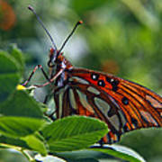 Gulf Fritillary Butterfly Close Up Poster