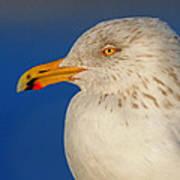 Gull Portrait Poster