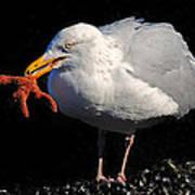 Gull With Starfish Poster