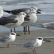 Gulls And Terns Poster
