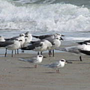 Gulls Terns Skimmers Poster