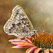 Hackberry Emperor Butterfly 2 Poster