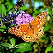 Hackberry Emperor Butterfly On Flowers Poster