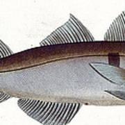 Haddock Poster