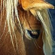 Haflinger Beauty Poster