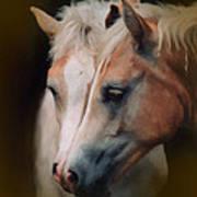 Haflinger Foal Friends Poster