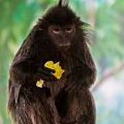 Hairy Monkey Poster