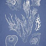 Halymenia Formosa And Eucheuma Spinosum Poster