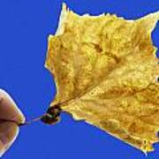 Hand Holding Dry Cottonwood Leaf Poster