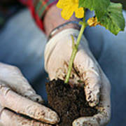 Hands Planting Plant Poster