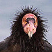 Handsome California Condor Poster