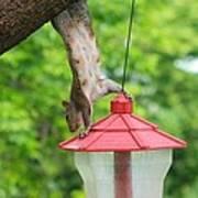 Hanging Squirrel Poster