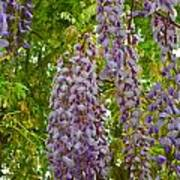 Hanging Wisteria Blossoms Poster