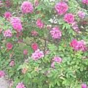 Hansa Roses Poster