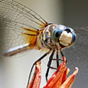 Happy Dragonfly Poster