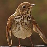 Happy Hermit Thrush Poster