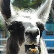 Happy Llama Poster