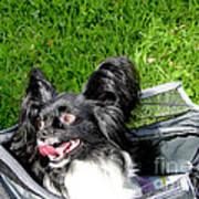Happy Papillon In A Bag Poster