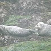 Harbor Seal Dual Poster