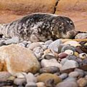 Harbour Seal   Poster