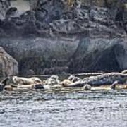 Harbour Seals Resting Poster