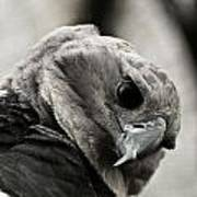 Harpy Eagle Closeup Poster