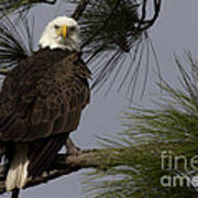 Harriet The Bald Eagle Poster