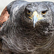 Harris Hawk Ready For Attack Poster