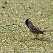 Harris Sparrow On Grass Poster