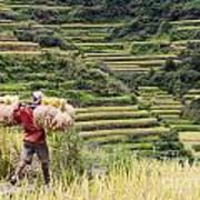 Harvest Season In Rice Field Poster
