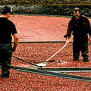 Harvesting Cranberries Poster