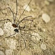 Harvestman Spider Poster