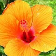 Hawaii Orange Hibiscus Poster