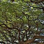 Hawaiian Banyan Tree Poster
