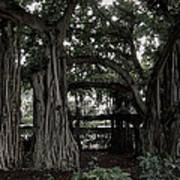 Hawaiian Banyan Trees Poster
