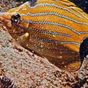 Hawaiian Butterfly Fish Poster
