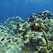 Hawaiian Green Sea Turtle Poster