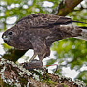 Hawaiian Hawk With Mouse Poster